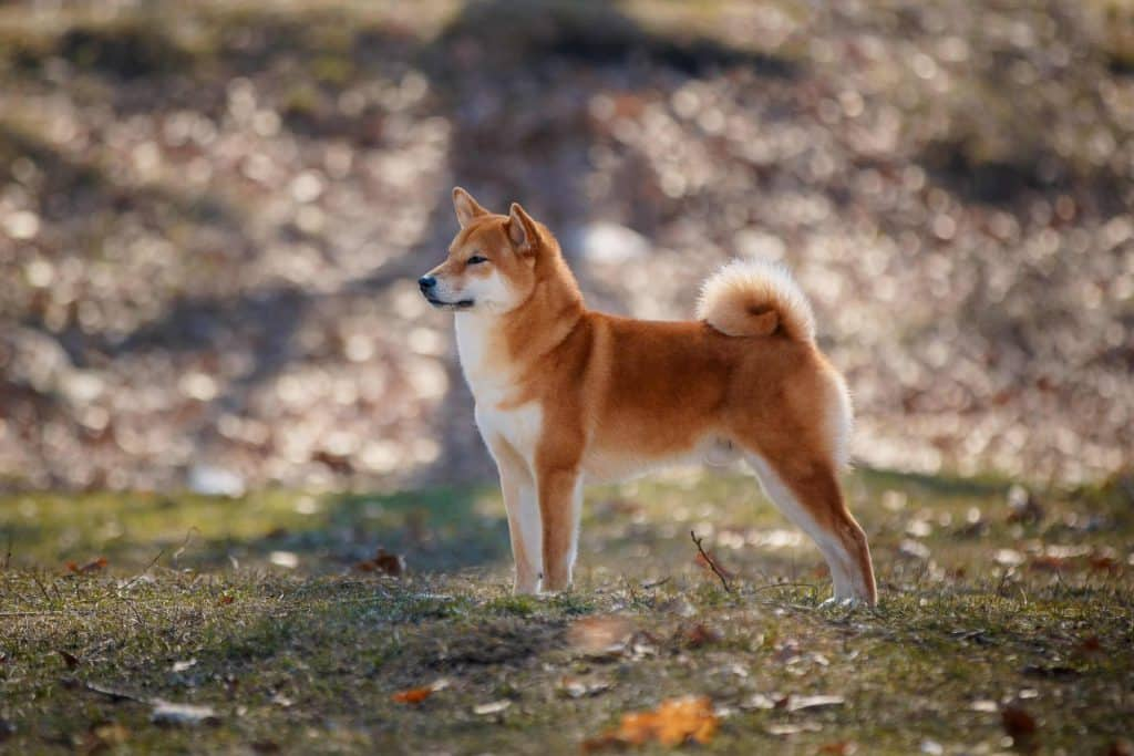 Can Shiba Inus Be Therapy Dogs 2