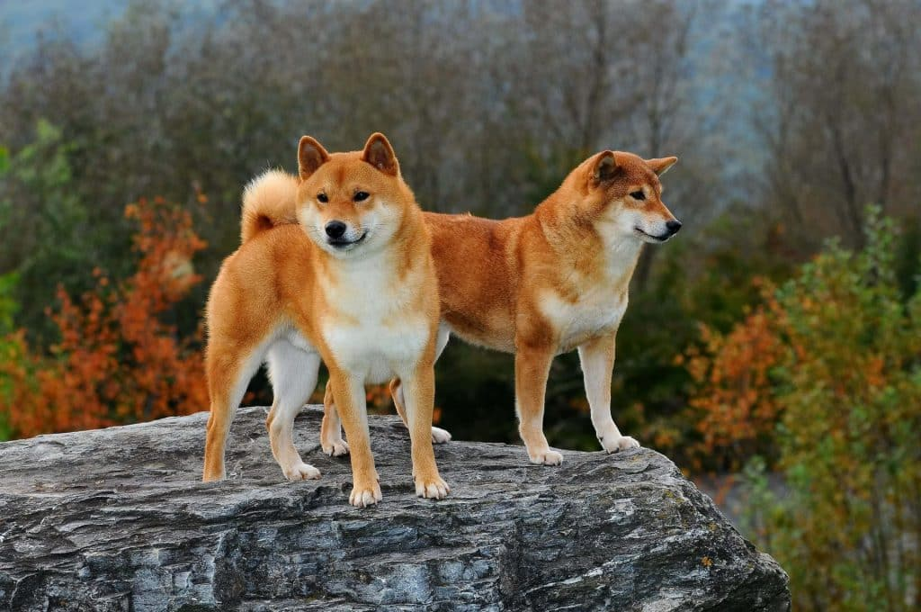 Can Shiba Inus Be Trained 2