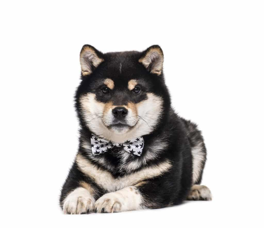 Do Shiba Inus Get Along With Other Dogs 2