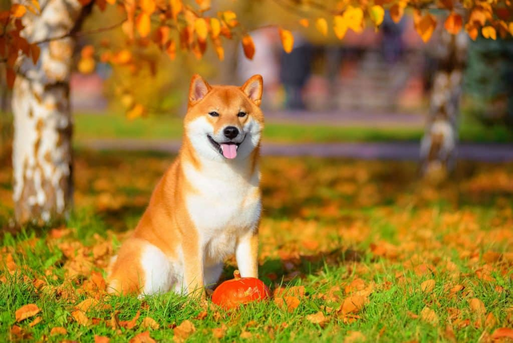 Everything You Need to Know About Shiba Inus 2