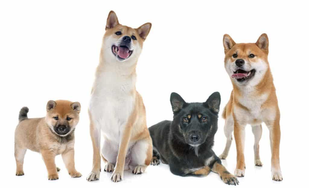 What to Know About Shiba Inus 2