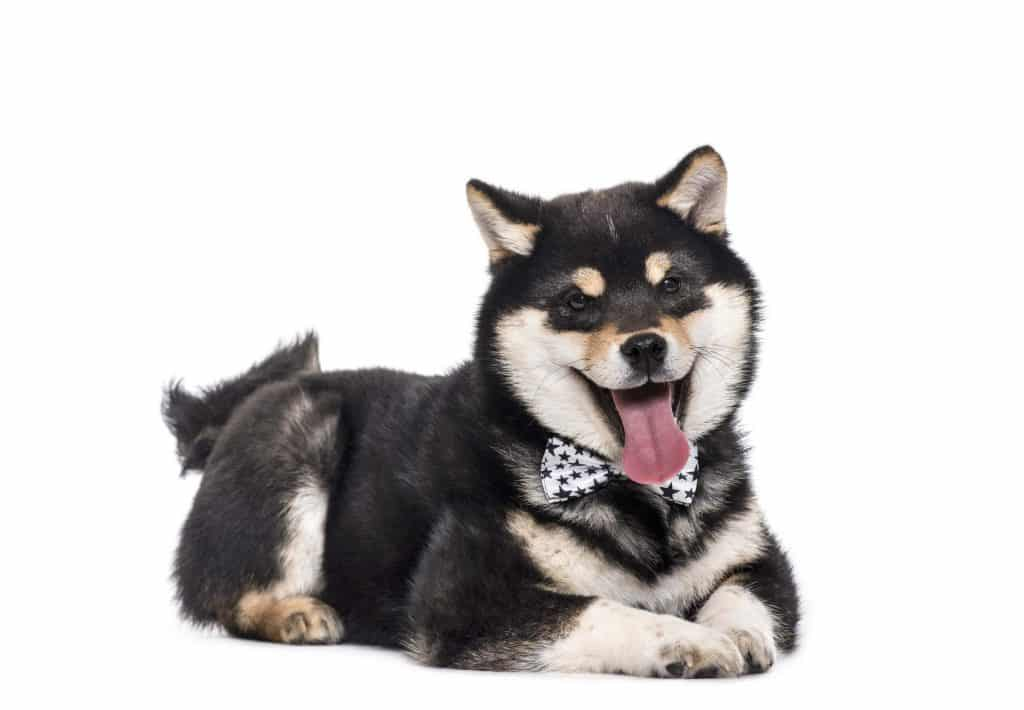 What were Shiba Inus Bred For 2