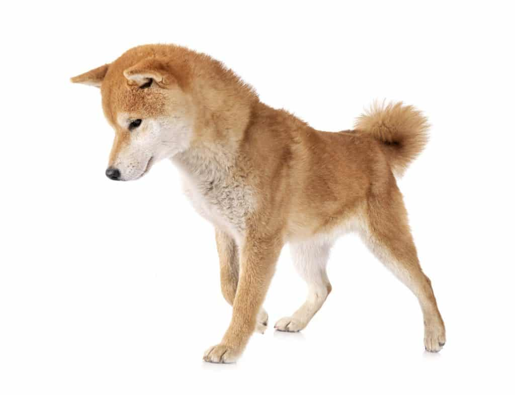 Where are Shiba Inus From 2