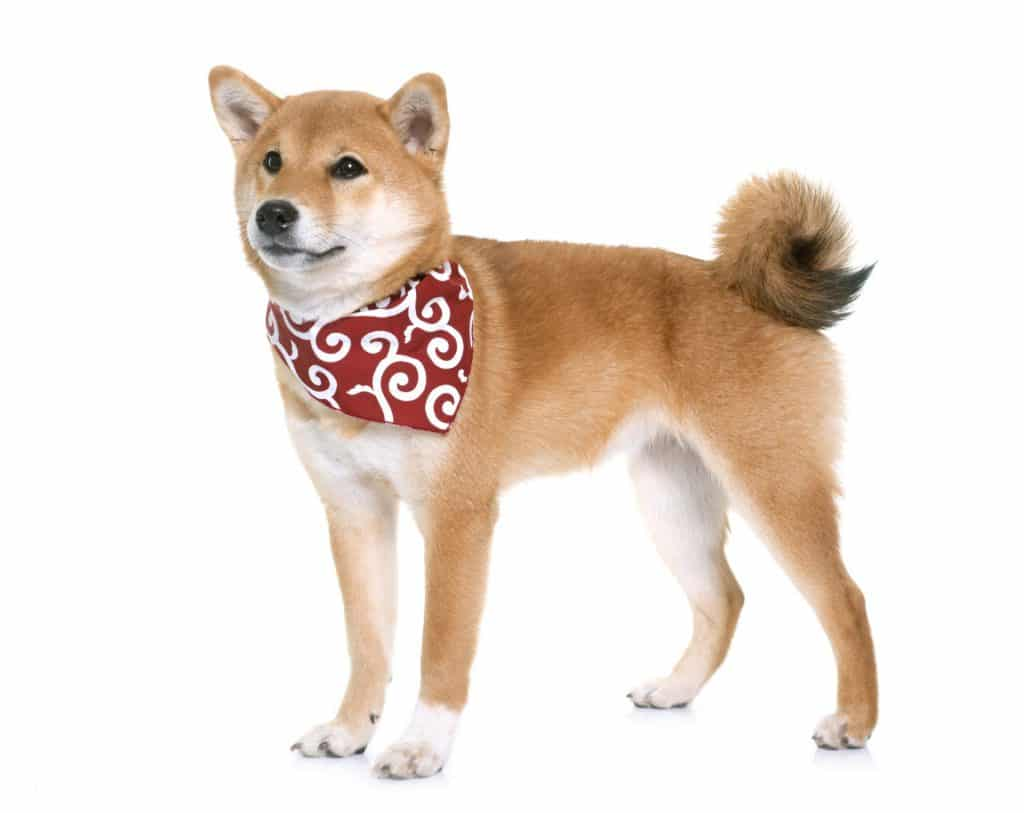 Why are Shiba Inus So Expensive 2