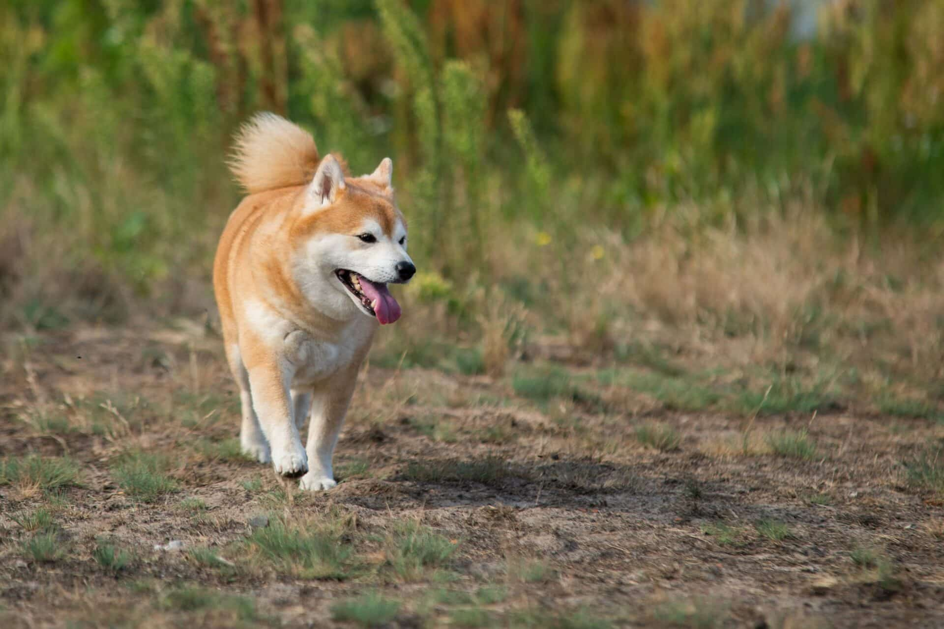 How Expensive Are Shiba Inus 2