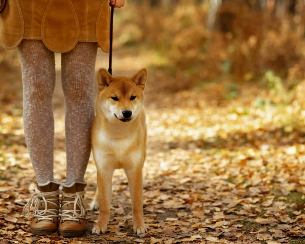 Are Shiba Inus Good With Cats 1