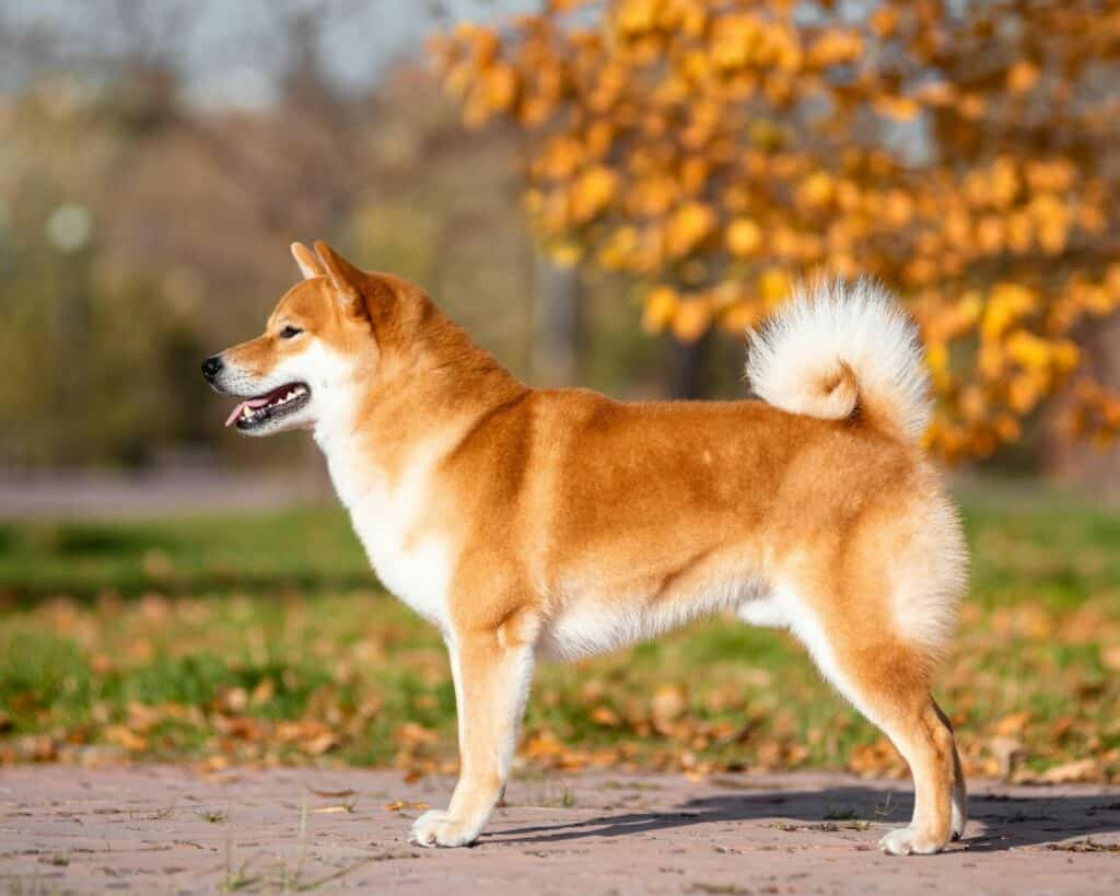 Can Shiba Inus Be Left Alone 2