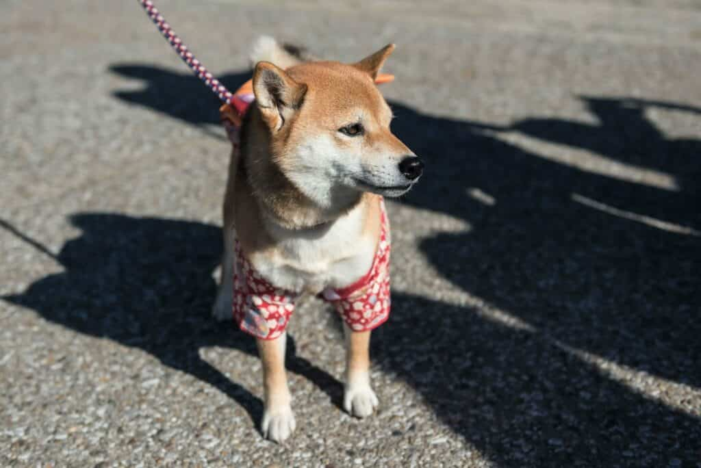 Fun Facts About Shiba Inus 1