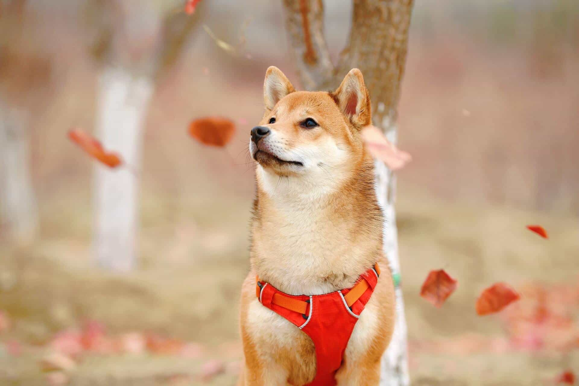 All About Shiba Inu's Reproduction 1