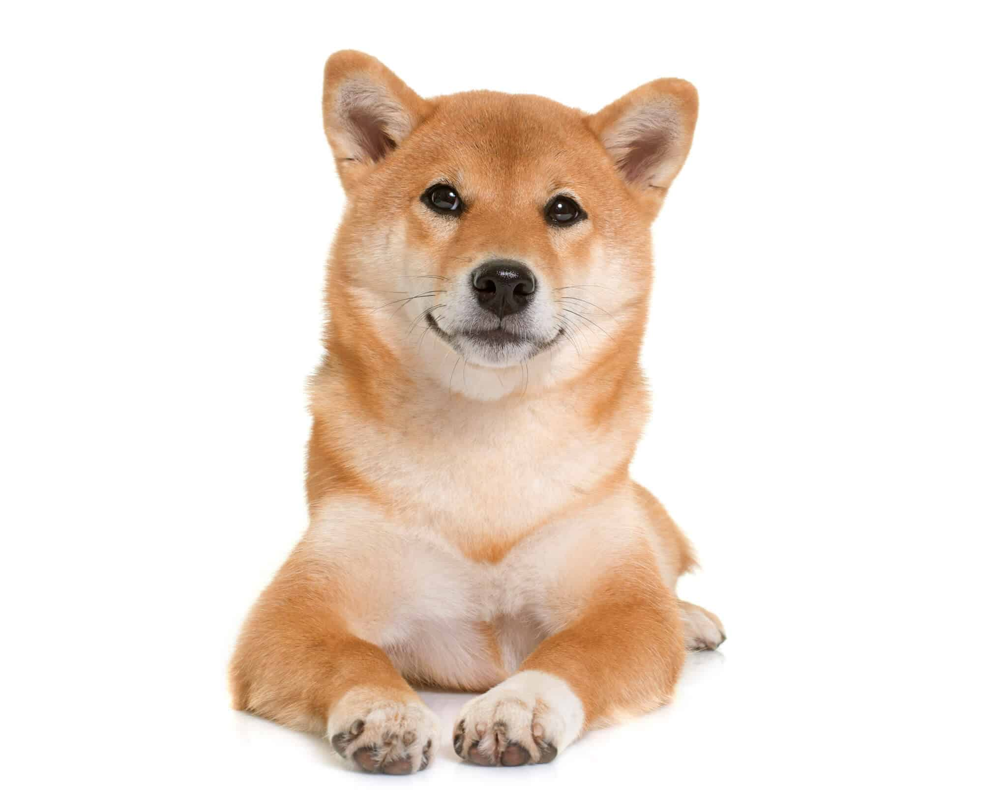 Are Shiba Inus Expensive Learn the Facts 1