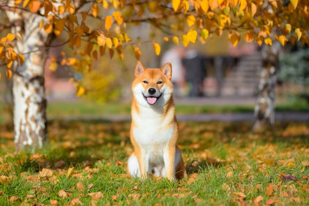 Are Shiba Inus Expensive Learn the Facts 2