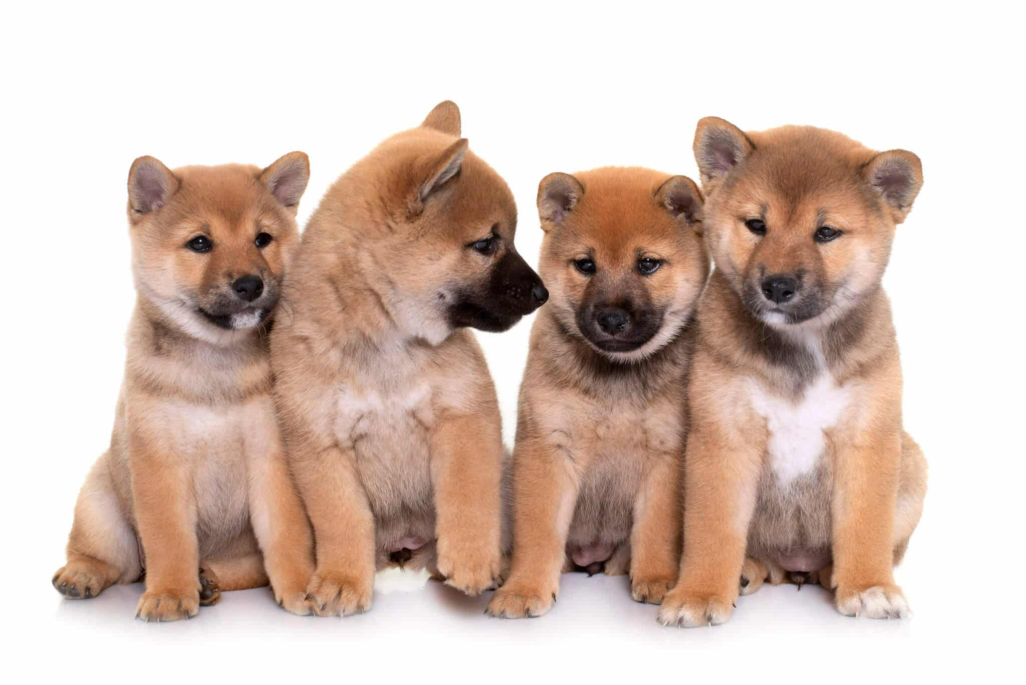 Can Shiba Inus Go Long Distances- Here's What You Need to Know.2