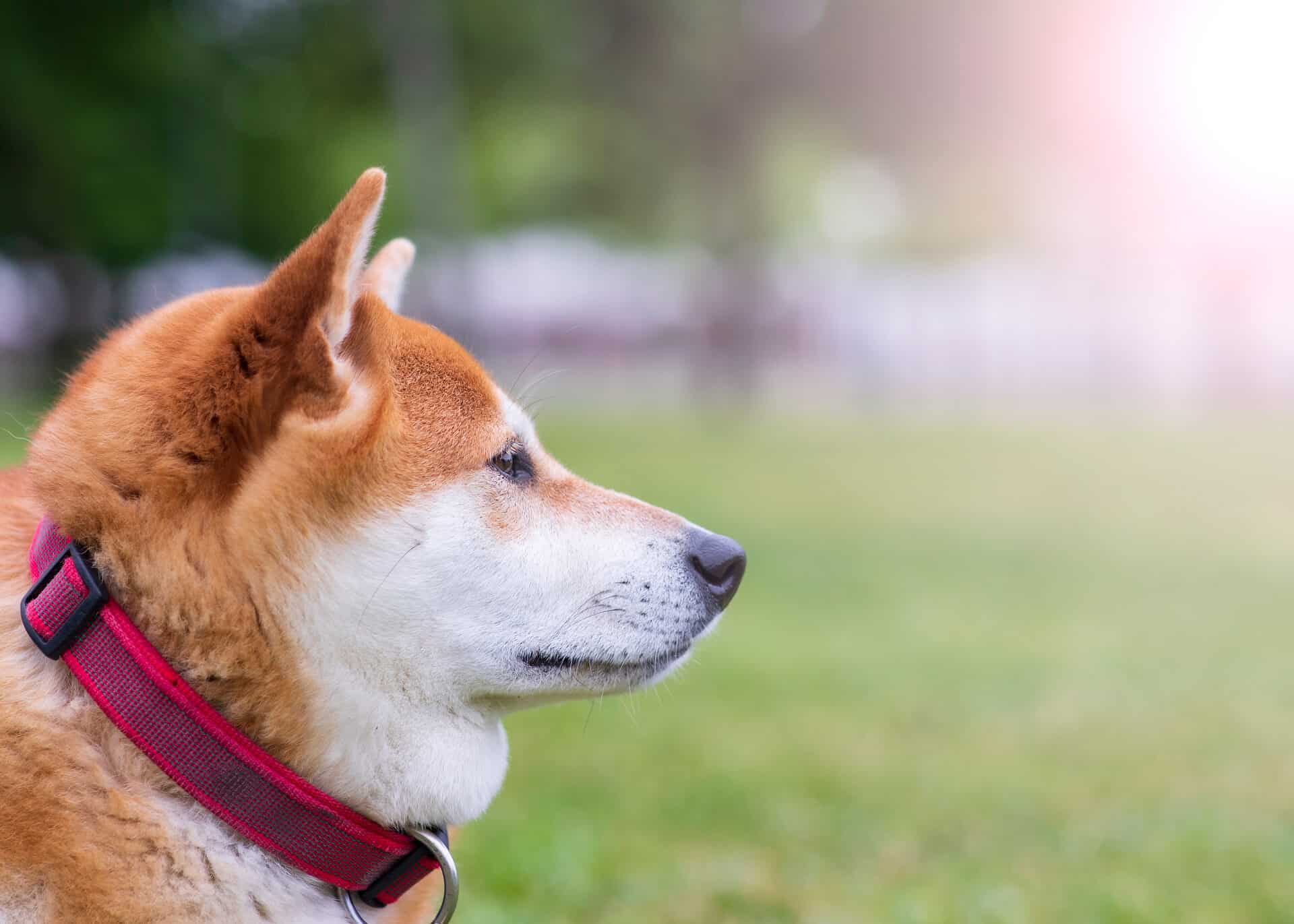 How to Choose the Best Dog Food for Your Shiba Inu 1
