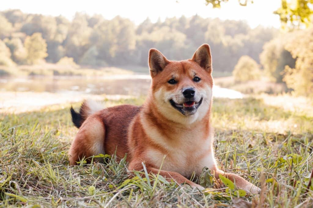 Shiba Inus The Dog That Can Get Along with Cats 1