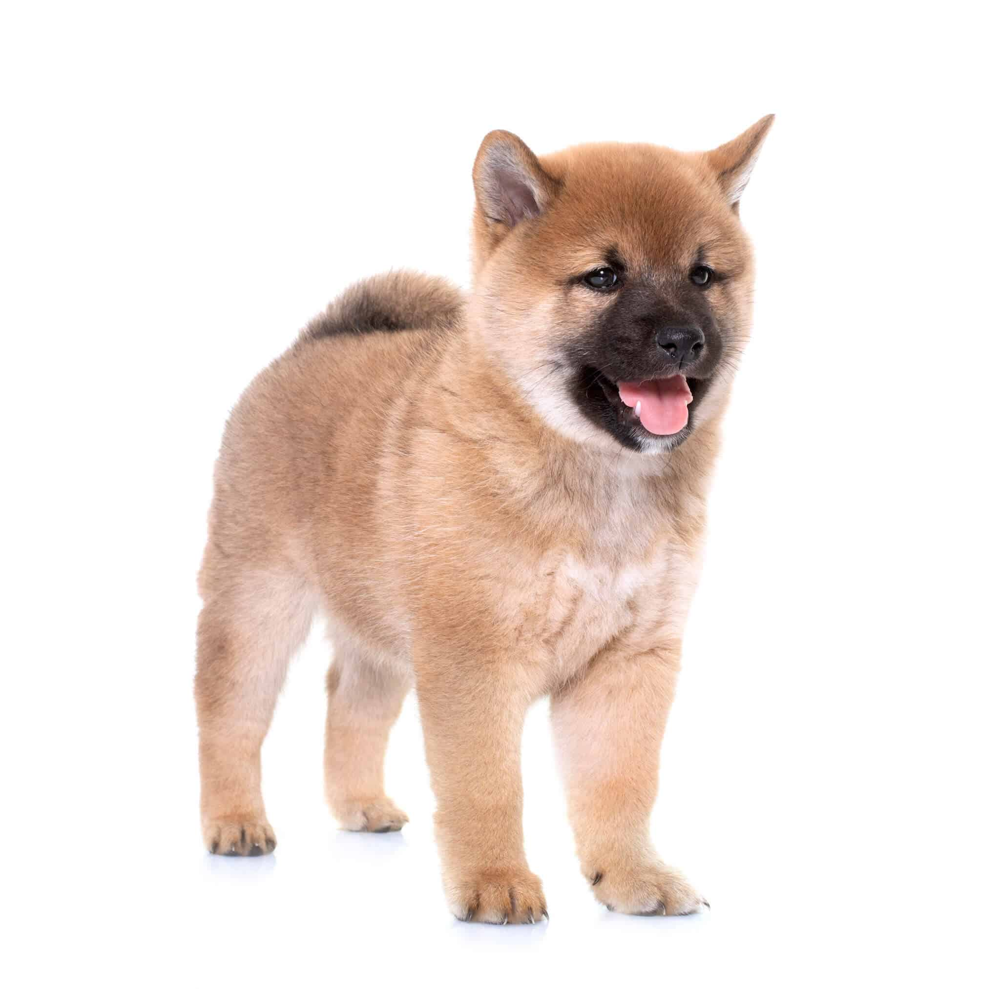 Shiba Inus The Dog That Can Get Along with Cats 2