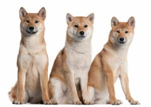 The Shiba Inu Exercise Guide A Collection of Helpful Tips 1