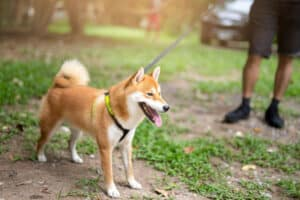 What Shiba Inus Do When They're Not Leashed Down 1