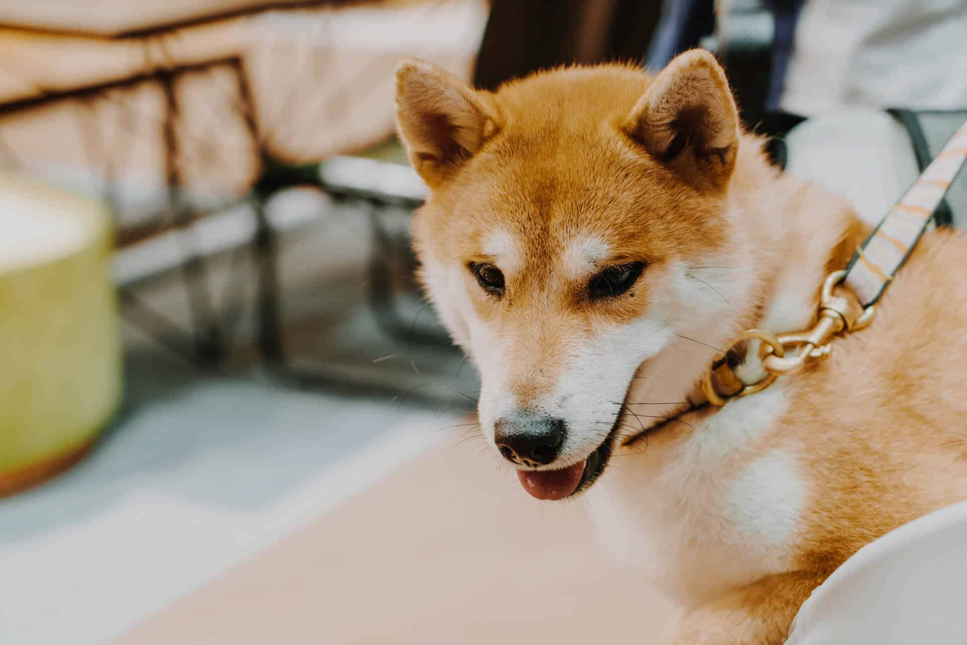 Why Getting a Shiba Inu Makes You The Best Person Ever 1